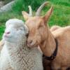 綿羊及山羊